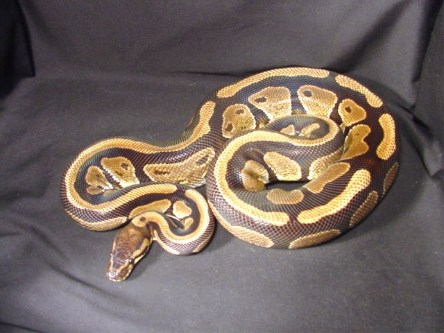 Our Breeders - Development of the Wide Stripe Ball Pythons