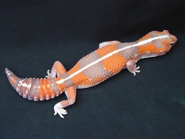 Our Breeders African Fat Tailed Geckos