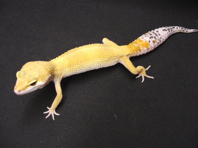 Tangerine Super Hypo Carrot-Tail Leopard Gecko