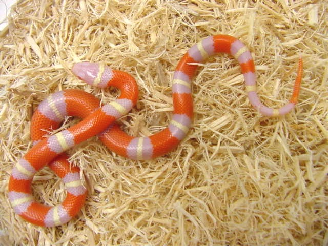 see milksnakes for sale