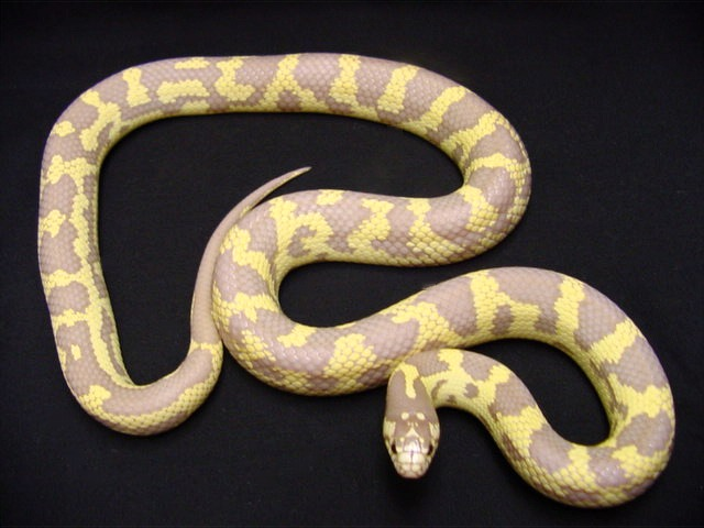 California Kingsnake Albino | Kingdom | Pinterest | Albino, Lizard species  and Pet snake