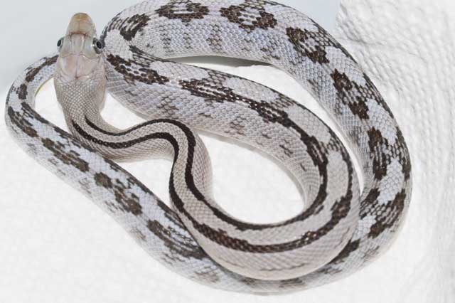 For Sale - Ratsnakes