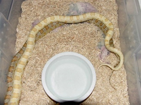 The Learning Center - Breeding Cornsnakes
