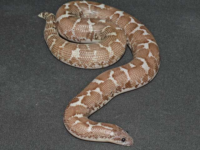 Our Breeders Sand Boas